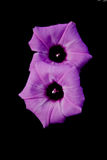 Pair of Morning Glory Flowers on Black Stock Photo