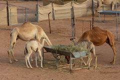 A pair of mother and baby camels eating in an enclosed farm stock photography