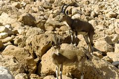 Pair of mountain chamoises among rocks Stock Photo