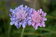 A pair of mountain flowers in love. Beautiful purple high mountain flowers from the Dolomites of Belluno, Italy royalty free stock images