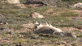 Pair of mountain goat kids bedded. A pair of cute mountain goat kids in the rugged Colorado high country stock video footage
