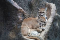Pair of Mountain Lions on the Rocks Royalty Free Stock Images
