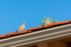 A pair of Mourning Dove on the roof Stock Photo