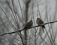 A Pair of Mourning Doves Royalty Free Stock Image