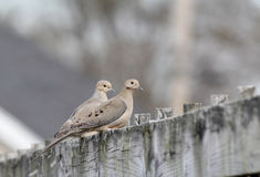 Pair of Mourning Doves (Zenaida macroura) Stock Images