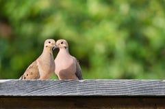 Pair of Mourning doves Zenaida macroura Stock Photos