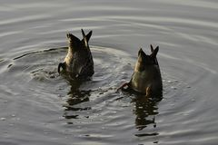 Pair Of Mud-grazing Yellow-billed Ducks anas undulata stock photography