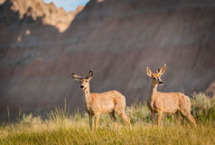 Pair of Mule Deer with Badlands Ridgeline Royalty Free Stock Photo