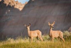 Pair of Mule Deer with Badlands Ridgeline. Pair of Mule Deer (Odocileus hemionus) with Badlands Background - South Dakota Royalty Free Stock Photo