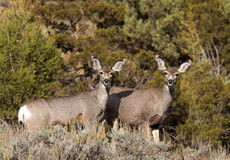 Pair of Mule Deer Stock Photo