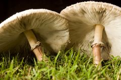 Pair of mushrooms Stock Photos