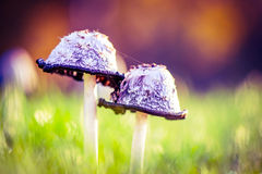 Pair of mushrooms in a meadow Stock Photography