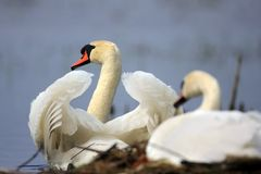 Pair of Mute swan birds on a nest during a spring nesting period stock photo