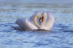 Swan Pair. A pair of mute swan Cygnus olor swimming together on a lake.  Mute swan pairs form a long lasting bond usually for life.  During courtship the two Royalty Free Stock Image