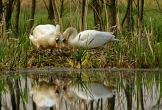 Pair of mute swan by the nest. Poland , spring.Early morning.Pair of mute swan is building the nest ,above the edge of the old Bug river bed.Their figures are Royalty Free Stock Images