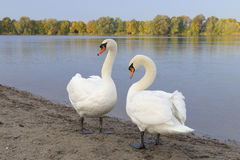 Pair of Mute Swans Stock Photos