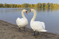 Pair of Mute Swans Royalty Free Stock Photography