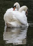 A pair of mute swans on Southampton Common stock image