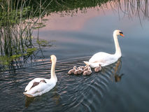 Pair of Mute Swans with Cygnets - Sunset. Image of a pair of Mute Swans with Cygnets on a river at Sunset. Cygnet asleep on back of Swan. Pink sky and reeds royalty free stock image