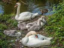 Pair of Mute Swans with fluffy Cygnets resting on a Riverbank .   Royalty Free Stock Photography