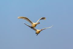 Pair of Mute Swans fly Stock Photo