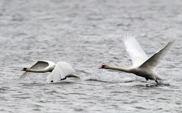 Pair of Mute Swans flying Royalty Free Stock Image