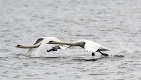 Pair of Mute Swans flying Royalty Free Stock Images