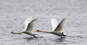 Pair of Mute Swans flying Stock Photos