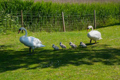 A pair of mute swans with their cygnets in a line. Walking at the roadside to a nearby river. These creatures are a protected species in the United Kingdom Stock Photos