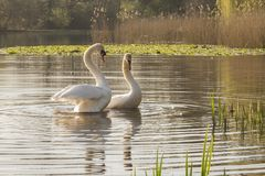 A pair of mute swans on the water at the Ornamental Pond royalty free stock photo