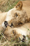 Two lionesses playing Stock Photos