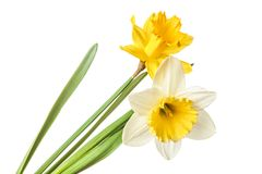 Pair of narcissus flower isolated on a white background Royalty Free Stock Image