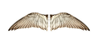Pair of natural bird wings from inside view. Pair of natural colored bird wings from a sandpiper shorebird royalty free stock image