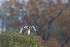 Pair of natural mallard ducks anas platyrhynchos flying. With trees Royalty Free Stock Image