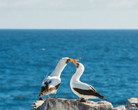 A Pair of Nazca Boobies stock photos