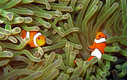 Pair Nemos. A couple of clownfish playing in their anemone home Royalty Free Stock Photos