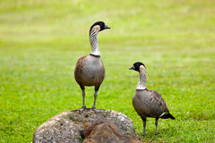 Pair of nene geese. Pair of rare nene geese birds on Kauai with one standing on rock Stock Images