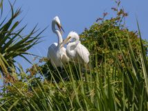 Nesting Egrets in Atlantic Beach, Florida. A pair of nesting egrets enjoying spring weather in Hanna Park, Atlantic Beach, Florida stock images