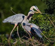 Pair of nesting Great blue herons in spring Royalty Free Stock Photo