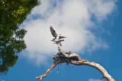 Pair of Nesting Osprey Royalty Free Stock Images