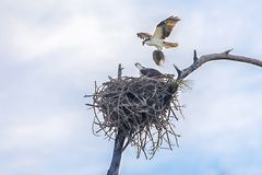 Pair Of Nesting Ospreys, Seahawks Building A Nest. A pair of ospreys, or seahawks building a large nest, with one bird landing with a pile of hay to an awaiting Stock Images