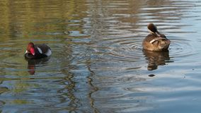 Pair of net Rufina ducks eat and polish stock footage