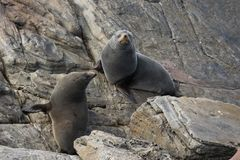 Pair new Zeland New Zealand Fur Seal long-nosed fur seal relaxing on the stones. Australasian fur seal, South Australian royalty free stock image