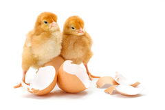 Pair of newborn brown chickens along broken egg shells Stock Image
