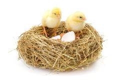 Pair of newborn chickens in hay nest with egg shells Royalty Free Stock Images