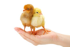Pair of newborn chickens standing in human hand Royalty Free Stock Photo