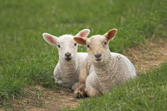 A pair of newborn lambs. Two newly born lambs sitting together in field of grass Royalty Free Stock Photo
