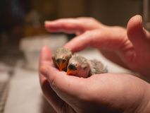 Pair of newborn lovebirds in hand and finger caress. Closeup. royalty free stock image