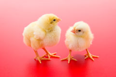 Pair of newborn yellow chickens on red background Stock Photo
