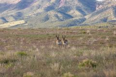 Pronghorn Antelope Bucks on the Utah Prairie. A pair of nice pronghorn antelope bucks on the Utah prairie Royalty Free Stock Images